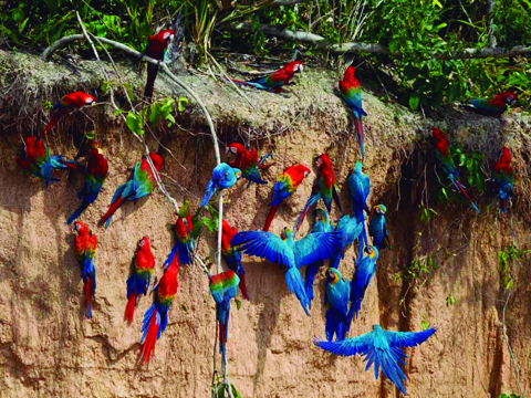 Tour Peru 7d/6n Cusco Machupicchu Tambopata: En Cusco Peru se descubrirá en sus viajes las imponentes construcciones incas y los tesoros arqueológicos del imperio de los incas dentro y alrededor de Cusco y en el valle sagrado del río Urubamba (Vilcanota) - Peru. En Peru Exploraremos en profundidad una de las 7 Maravillas del Mundo, Machu Picchu, la Ciudad Perdida de los Incas, Machu Picchu, nos recibirá con sus increíbles terrazas, escalinatas, recintos ceremoniales y áreas urbanas. La energía emana de todo el lugar de Machupicchu. Luego de nuestra visita guiada en Machupicchu, tendremos tiempo para explorar la ciudadela inca de Machu Picchu y almorzar en uno de los restaurantes de la zona. A la hora coordinada, retornaremos en tren y seremos trasladados al hotel en Cusco - Peru.